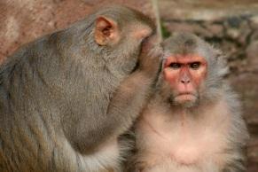rhesus-monkey-macaque gossip